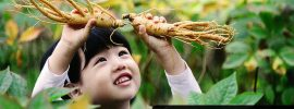 Korean Ginseng herb Natural benefits for Men & Women